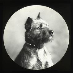 Victorian Border Terrier - Northumberland archives
