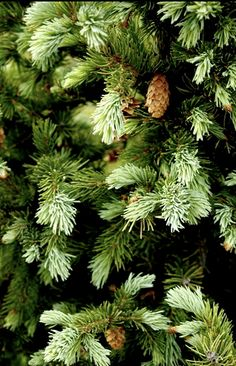 love the smell of evergreen...