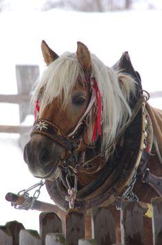 Haflinger Pferd (German mountain horse)