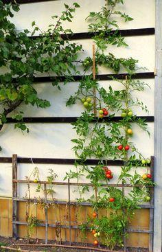 3 Meter hohe Tomatenstaude - Oberdrauburg - meinbezirk.at