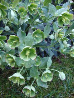 Green flowers in my garden: Helleborus foetidus