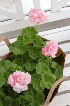 will eat anything soaked in vinegar. Summer Plants, Summer Flowers, Pink Flowers, Malva, Flowers Nature, Beautiful Flowers, Pink Geranium, Geranium Plant, Grandmas Garden