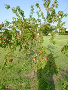 windy creek vineyards: Organic Peaches and plums in Sanger  dwarf peach trees for easy picking by children