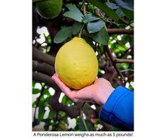 Ponderosa Lemon Tree - See Logee's famous century old lemon tree!