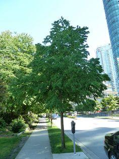 Katsura Tree used as a street tree