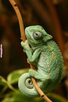 Different Types of Chameleons #TypesofChameleons #Chameleons