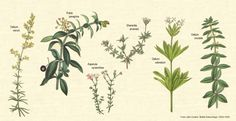 botanical illustration herbs - Pesquisa Google
