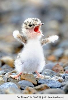 Outrageously cute opera singer or just another angry bird? You decide. #animal #wildlife #nature #baby