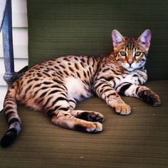 Bentley - Savannah Cat