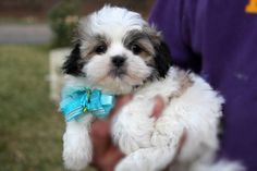 Beautiful Mal-Shi Puppies Shih-Tzu) I love mine! Maltese Shih Tzu, Shih Tzu Puppy, Yorkie, Best Puppies, Puppies For Sale, Dogs And Puppies, Really Cute Puppies, Puppy Love, Pet Dogs
