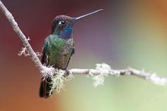 Hummingbird Pictures: Magnificent Hummingbird