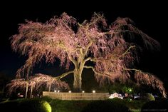 weeping sakura tree in blossom and illuminated at night