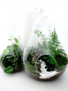 Terrarium Set: 2 Pear Shaped Glass Jars with Live Plants & Miniature Japanese Garden Pagoda - Extra Large Centerpiece