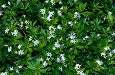 Galium odoratum   sweet woodruff/RHS Gardening
