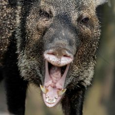 Javelina or White-collared Peccary