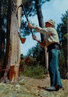 Le Gemmeur de pins, Landes de Gascogne.