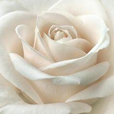 ⚜ Romantique Rose ⚜ - menentk: Purity by Darlene Kwiatkowski Love Rose, My Flower, Pretty Flowers, White Flowers, Gif Kunst, Decoration Evenementielle, Hybrid Tea Roses, Beautiful Roses, Beautiful Life