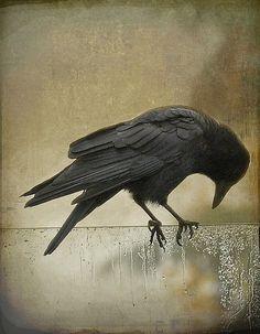 Ворона - запись пользователя mamochka81 (Ксения Корнева) в сообществе Картинки для творчества в категории Животные и птицы
