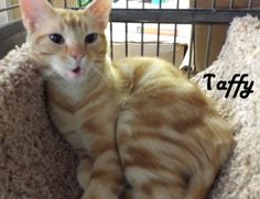 We are Taffy and Tex and we bring you greetings from San Mateo Pet Supply!! Tex here... I am a real love. I do look out for all my sisters, Taffy, Tessa and Tiffy. Tessa and Tiffy hang out the most together, you will find them snuggling. We all love to play and Taffy is a lot of fun to be with. So... if you could adopt me and Taffy that would be so cool! Two orange tabbies; A girl and a boy just waiting for you.  If you are interested please call 877-307-2747 or email adopt@whis-purr.org