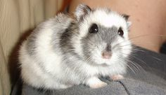 How to Care for Chinese Dwarf Hamsters -- via wikiHow.com