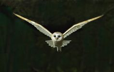 Images For > Flying Barn Owl Drawing
