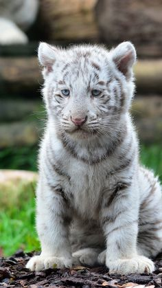 The White Siberian Tiger ~ is found around the cold regions of Russia. They are mainly white with areas of black on their body that create unique pattterns