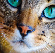 Ready for my close up. 🐾 Bentley the Savannah Cat - Green eyes, Cat eyes, beautiful cat, exotic cat,