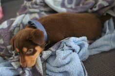 Kelpie Amelia Wedding, Dog Days, Make Me Smile, Dog Breeds, Cute Animals, Puppies, Pets, Pretty Animals, Cubs