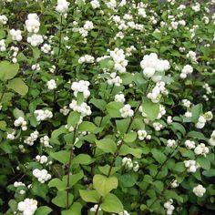 Snowberry (symphoricarpos albus) - planting and care Plants, Tree Seeds, Best Plants For Shade, Shrubs, Garden Photography, Garden Shrubs, Perrenial Flowers, Shade Plants, Fruit Plants