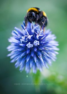 globe thistles are one of the best things for bumblebees - as you can see! #homesfornature