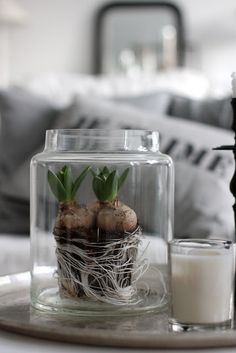 Forcing hyacinths in an apocathary jar