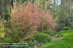 RED FLOWERING CURRANT RIBES SANGUINE IN AUTUMN FOLIAGE | Red-flowering Currant in garden border