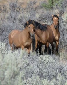 Kiger Mustangs   <   Descended from Spanish Mustangs, these wild horses are separated from the other wild horses in the Steens HMA, Eastern Oregon   <   They have further been divided into two separate herds, in case something happens to one   <   they have 37,000 sq. mi. of their own