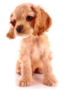 Cutest Cocker Spaniel Puppy