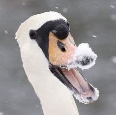 Let it snow This swan is having a laugh in its winter wonderland in West Berkshire, Britain. Smiling Animals, Laughing Animals, Happy Animals, Funny Animals, Cute Animals, Swans, Weird Pictures, Animal Pictures, Country Critters