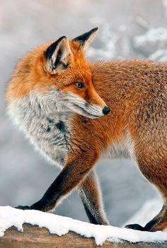 Red Fox by Miklos Liziczai