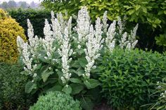 "Salvia sclarea ""Vatican white"", 70cm, flowers in late june, and late september, dry but light soil, sun."