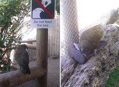 do not feed the kea #birds