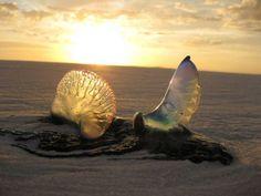 Jellyfish on the beach on Gulf Islands National Seashore.