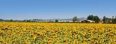 Tournesol (Provence)