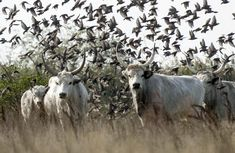 Hungarian Grey Cattle Hungary History, Rare Breeds, Whole Earth, In A Little While, Barbarian, Roman Empire, Bird Watching, Cattle, Romania
