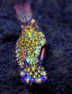 Hypselodoris kanga from Lembeh, Indonesia
