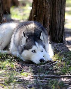 Siberian Husky ~ Classic Look #siberianhusky