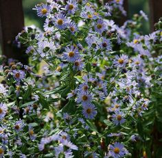 aster chilensis - could be white too