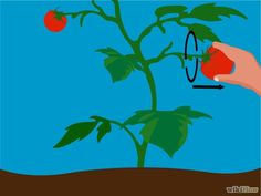 Imagen titulada Grow Tomatoes from Seeds Step 31