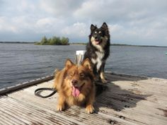 My everything <3 Jussi and Aimo Finnish Lapphunds