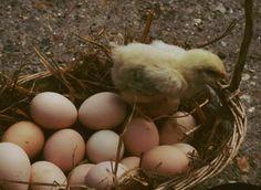 200 œufs par poule et par an, c'est possible. Il faut choisir pour cela des poules pondeuses. Explication en vidéo par Jean-Claude Périquet.
