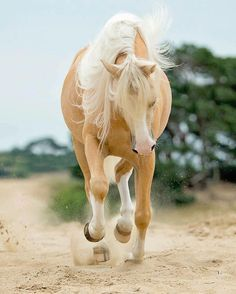 Pretty Palomino horse looks like it is dancing in the sand, Tickled-fancy