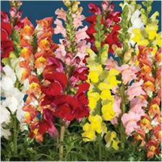 Arrow Mix Snapdragon Seeds