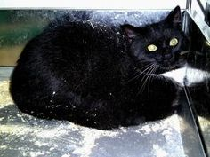 Chris is an adoptable Domestic Medium Hair-Black And White Cat in Charles City, VA. Chris is a stray picked up in Charles City. He is fearful and needs someone that knows how to socailize feral cats....